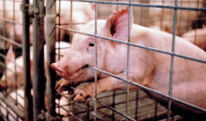 Why am I Vegan?  Part 1: The Animals.